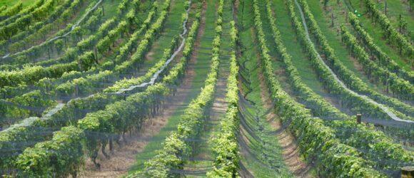 Anbau von Wein in Neuseeland